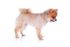 Волосы коричневого цвета собаки Pomeranian короткие Стоковые Изображения