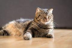 Волосы кота американские короткие лежа в доме Стоковое Изображение