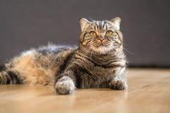 Волосы кота американские короткие лежа в доме Стоковая Фотография RF