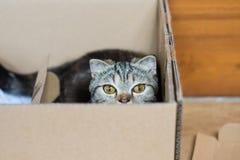 Волосы кота американские короткие наслаждаются сыграть в бумажной коробке Стоковая Фотография RF