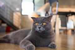 Волосы кота великобританские короткие лежа и смотря Стоковое фото RF
