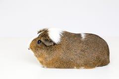 Волосы морской свинки ровные Стоковые Фото