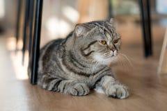 Волосы симпатичного кота американские короткие лежа на поле Стоковое Фото