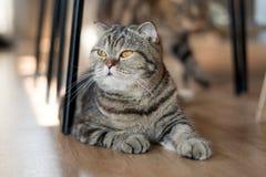 Волосы симпатичного кота американские короткие лежа на поле Стоковые Фотографии RF