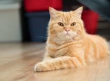 Волосы симпатичного кота американские короткие лежа на поле Стоковое Изображение
