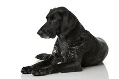волосы собаки клиппирования 3d немецкие над белизной краткости тени перевода путя стоковые фото