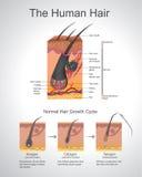 Волосы Humann иллюстрация вектора