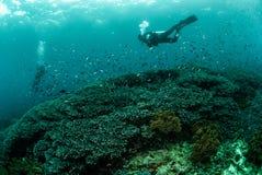 Водолазы, коралловый риф, ветреница в Ambon, Maluku, фото Индонезии подводном Стоковые Фотографии RF