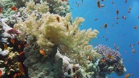 Водолаз акваланга, тропические рыбы и коралловый риф сток-видео