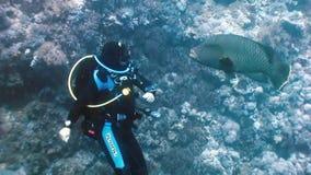 Водолаз играя с рыбами Наполеона на коралловом рифе акции видеоматериалы