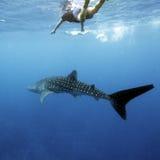 Водолаз китовой акулы и акваланга, Мальдивы Стоковая Фотография
