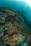 Водолаз, коралловый риф, ветреница, коралл гриба кожаный в Ambon, Maluku, фото Индонезии подводном Стоковые Фото