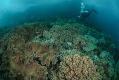 Водолаз, коралловый риф, коралл гриба кожаный в Ambon, Maluku, фото Индонезии подводном Стоковые Изображения RF