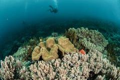 Водолаз, коралловый риф, коралл гриба кожаный в Ambon, Maluku, фото Индонезии подводном Стоковые Изображения