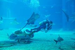 водолаз очищает аквариум Стоковые Изображения