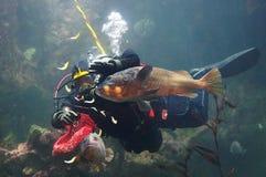 Водолаз подавая рыбы в большом аквариуме Стоковое Изображение RF