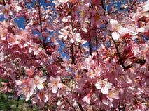 Во первых зацвести цветения Стоковое Изображение