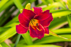 Во первых нескольких красных лилий зацветает Стоковые Фото