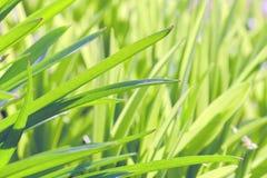 Во первых травы весны Стоковая Фотография RF