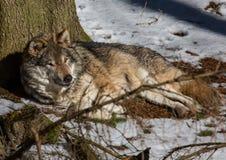 Волчанка волка волка в зиме в немецком олене паркует Стоковые Фото