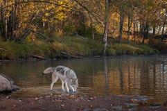 Волчанка волка серого волка идет правая голова вниз Стоковые Изображения