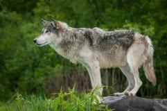 Волчанка волка серого волка на утесе к левой стороне Стоковое Изображение