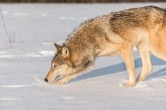 Волчанка волка серого волка обнюхивает налево в снеге Стоковое Изображение