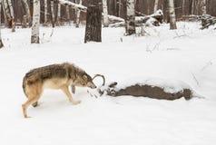 Волчанка волка серого волка обнюхивает на туше оленей Стоковые Изображения