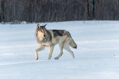 Волчанка волка серого волка поворачивает к праву в снеге Стоковые Фотографии RF