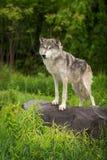 Волчанка волка серого волка стоит к левой стороне на утесе Стоковое Фото