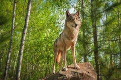 Волчанка волка серого волка стоит на утесе Стоковая Фотография