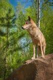 Волчанка волка серого волка стоит смотрящ налево на утесе Стоковые Фото