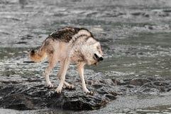 Волчанка волка серого волка трясет на утесе в реке Стоковые Фото