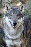 Волчанка волка серого волка Стоковое Фото