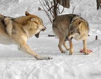 Волчанка волка серых волков Драка для еды Стоковая Фотография