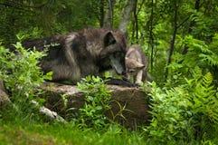 Волчанка и щенок волка серого волка на утесе Стоковые Фотографии RF