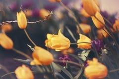 Волшебные fairy мечтательные тюльпаны с bokeh Стоковая Фотография