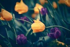 Волшебные fairy мечтательные тюльпаны с bokeh Стоковые Изображения RF