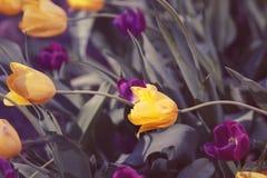 Волшебные fairy мечтательные тюльпаны с bokeh Стоковое фото RF