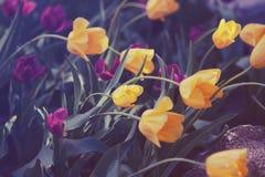 Волшебные fairy мечтательные тюльпаны с bokeh Стоковые Фото