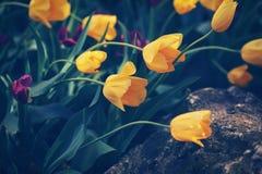 Волшебные fairy мечтательные тюльпаны с bokeh Стоковое Изображение