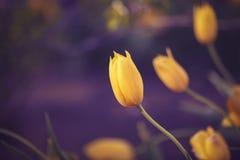 Волшебные fairy мечтательные тюльпаны с bokeh Стоковое Фото