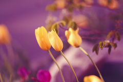 Волшебные fairy мечтательные тюльпаны с bokeh Стоковая Фотография RF