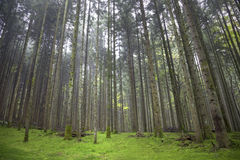 Волшебный зеленый пол мха в лесе Стоковое Изображение