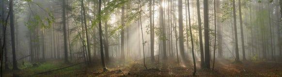 Волшебный прикарпатский лес на зоре Стоковое Изображение RF