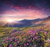 Волшебный розовый рододендрон цветет в горе лета. Стоковая Фотография RF
