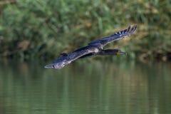 Воды летания птицы Whitebreasted-баклана Стоковое Изображение RF