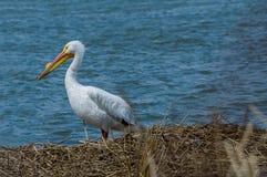 Воды пеликана Стоковая Фотография