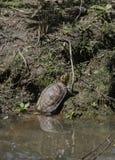 Водяная черепаха в пруде Стоковая Фотография