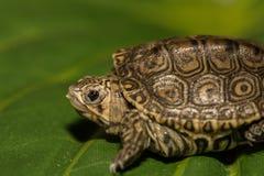Водяная черепаха младенца с ромбовидным рисунком на спине Стоковая Фотография